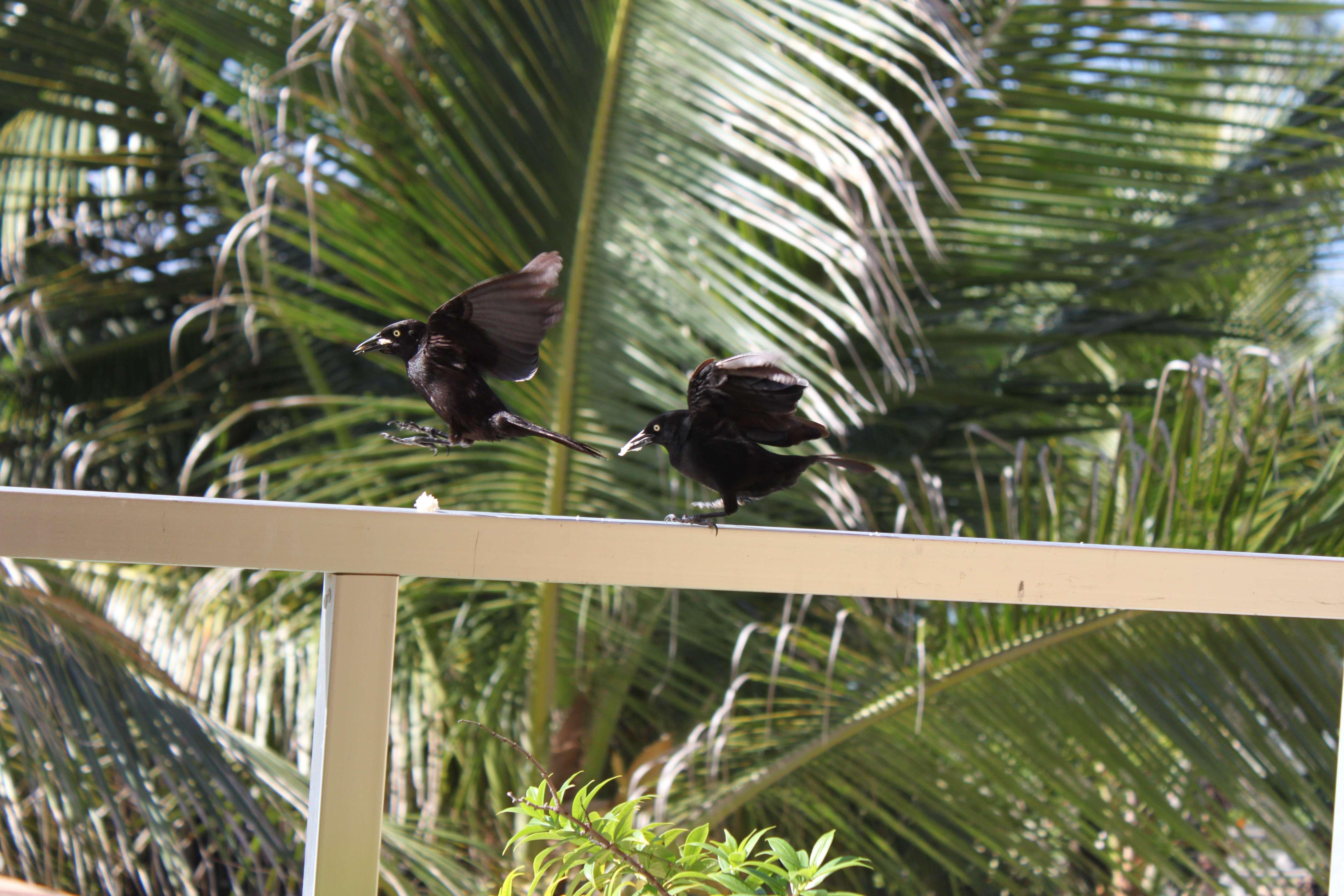 Carib bird